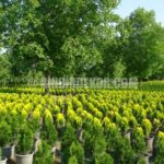 Çit Olarak Kullanılabilecek Bahçe Bitkileri