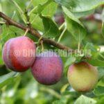 Meyve Ağaçlarının dikimi ve bakımı
